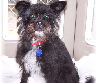 Teva the Affenpinscher mix who sniffed out her owner's cancer.