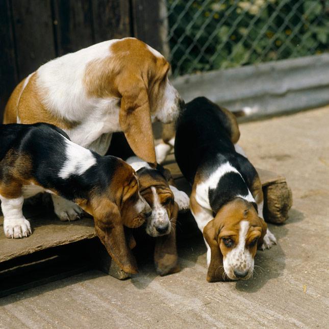 Basset Hound With Puppies