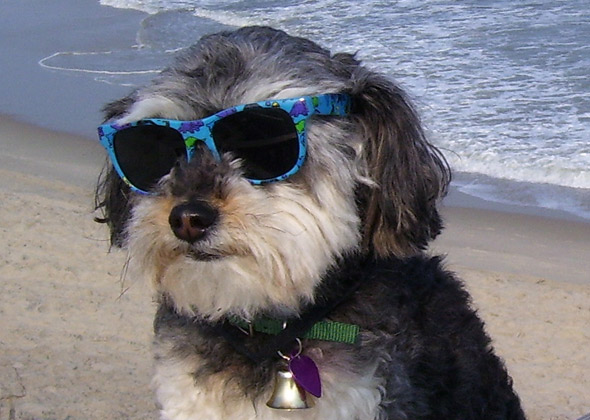 Buddy the Schnoodle wears glasses in the Outer Banks