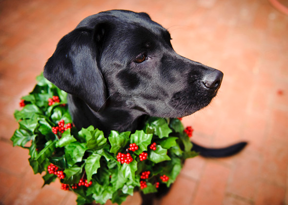 Labrador Retriever ready for Christmas