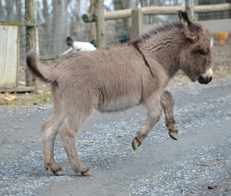Holly the Mini Donkey