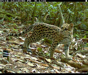A camera trap captured this photo of the Bolivian wild cat in July.