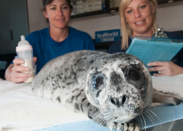 SeaWorld San Diego rescued this Pacific Harbor Seal Pup