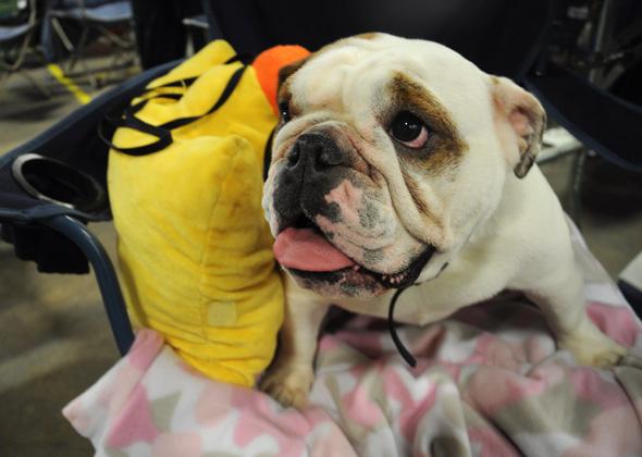 Maggie the Bulldog