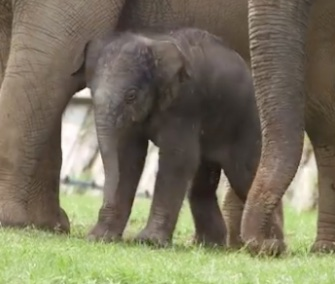 A newborn elephant in England was named Elizabeth in tribute to the queen for her 90th birthday.