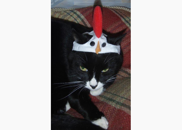 Cat as Rooster
