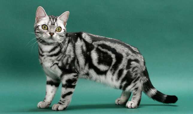 Domestic Cat Show Short Hair