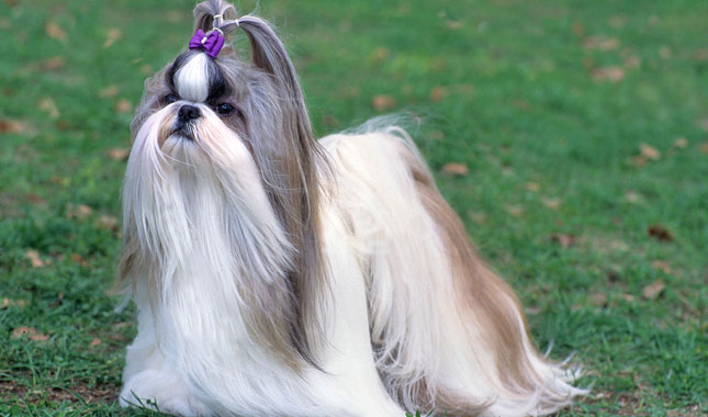 how to train a shih tzu to not bite