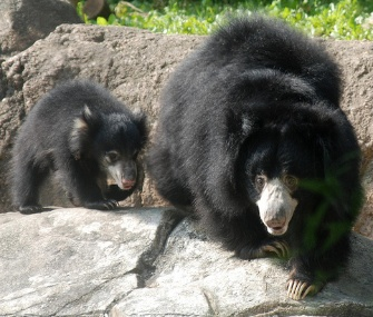 Hank, a sloth bear cub, makes his debut with his mom at the National Zoo.