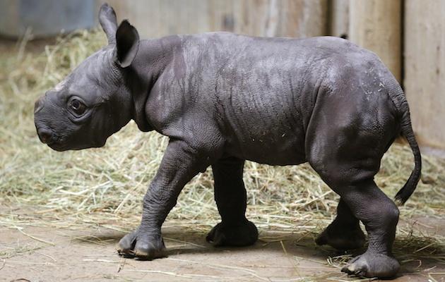 Baby Rhino at Lincoln Park Zoo