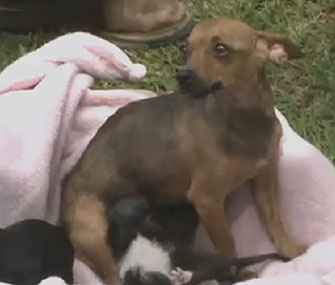 Harmony, a rescued Chihuahua, is caring for two kittens along with her two puppies.