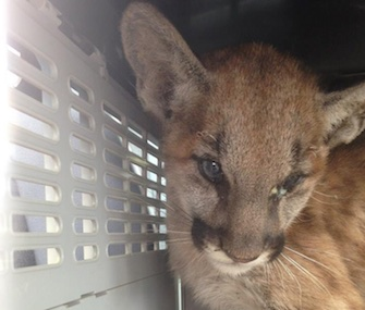 Fire Claw, a baby mountain lion, is recovering after being found burned in the Butte Fires area in California.