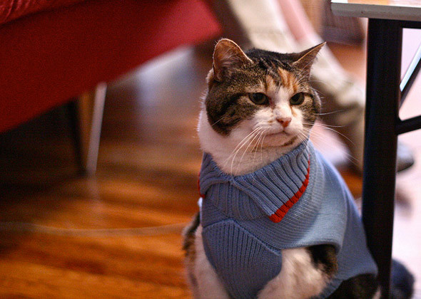 cat in blue and red sweater