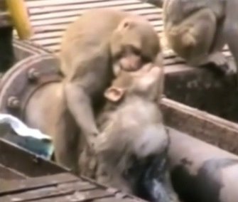 A monkey resuscitated his friend on a train track in India.