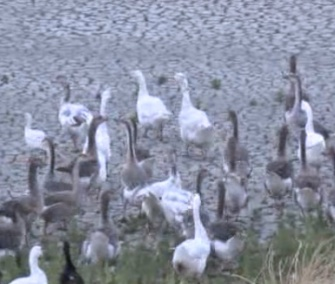 About 50 flightless geese were rescued from their drought-stricken pond in California Tuesday.