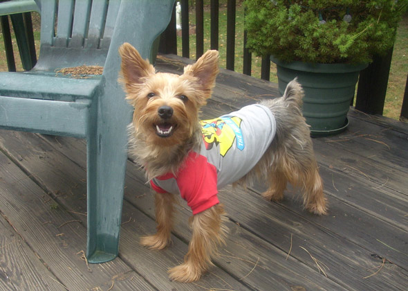 Yorkshire Terrier happy to be Superman.