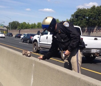 A California Highway Patrol officer helps a Chihuahua on Interstate 680.