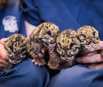 A rare litter of four endangered clouded leopard cubs is being hand-reared at the Point Defiance Zoo in Washington.