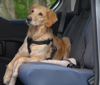 Dog wearing seat belt in car