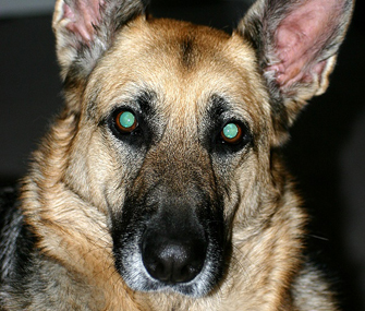 Dog's eyes glowing in the dark