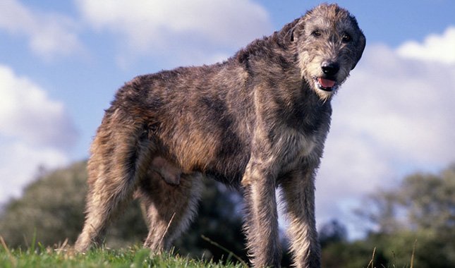 Irish Wolfhound Breed Information