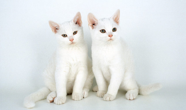 gray and white cat personality