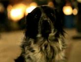 Shelby the Occupy Denver dog