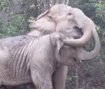 The sweet reunion between an elephant mom and daughter at a sanctuary in Thailand is captured on video.