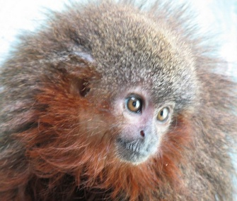 The titi monkey, which is already listed as critically endangered, is among the newly discovered species.
