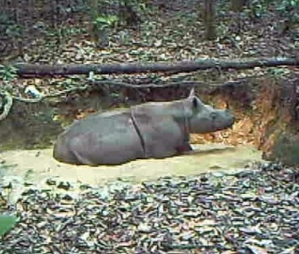 Camera traps caught this image of a rare Sumatran rhino wallowing in the mud on the Indonesian part of the island of Borneo.