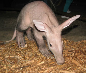 Pink aardvark