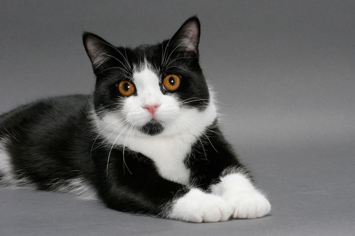 Black And White Cat Manx