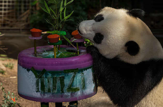 The San Diego Zoo's panda Yun Zi with his 3rd birthday cake.