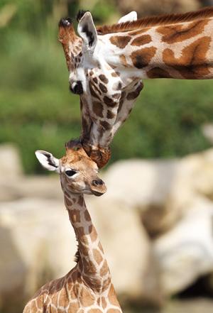 Dublin Zoo Giraffe