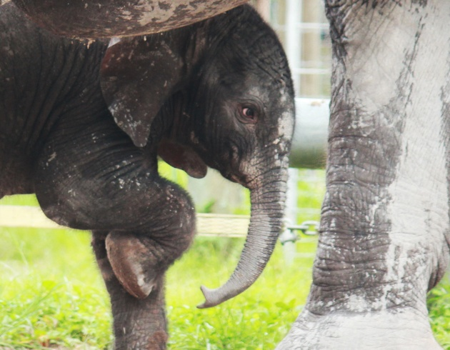 Florida zoo welcomes second baby elephant