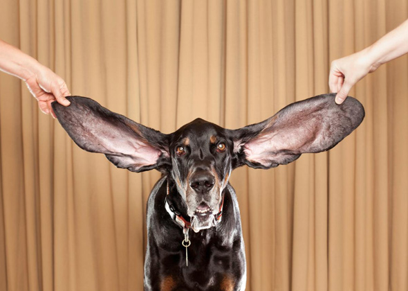 Harbor, The Dog With The World's Longest Ears