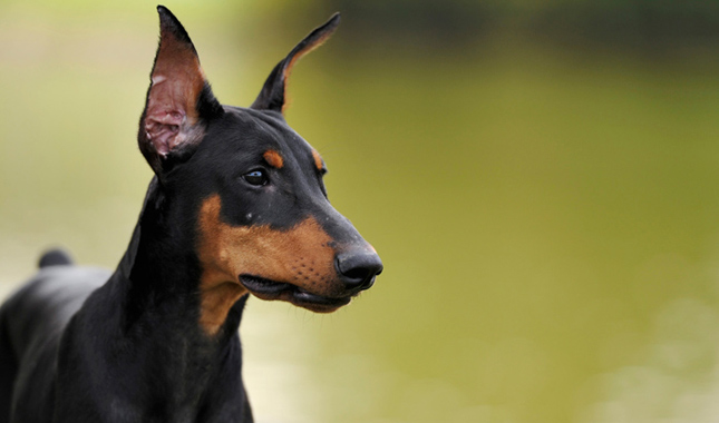 mean-looking-dogs-breeds