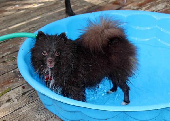 Kristee the Pomeranian loves getting wet