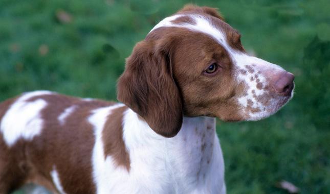 Brittany spaniel types - photo#23