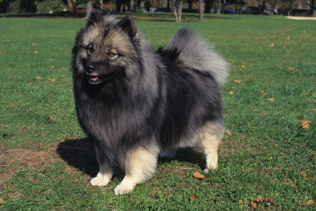 Keeshond  Calm, Composed Companion