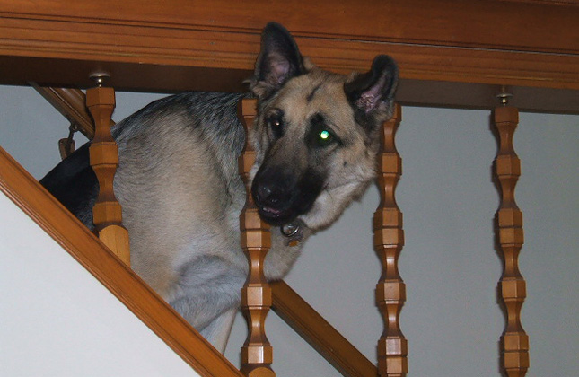 Rocky the German Shepherd sits on the stairs.