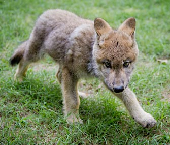 Boise, a Gray Wolf pup, has a new home in Virginia.