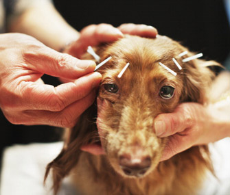 Dog Getting Acupuncture