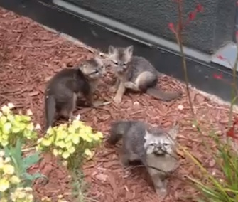 Facebook employees have been enchanted with a resident fox family.