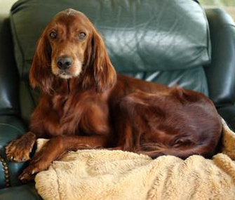 Rosie the Irish Setter