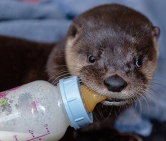 Oliver, a river otter pup, was flown to a new home at an aquarium in Denver.