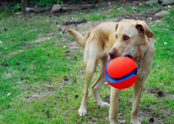 Dog holds ChuckIt soccer ball in mouth