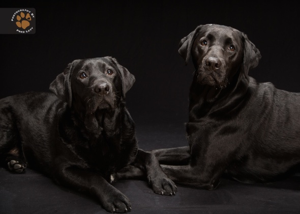 Black Labs Rosie and Suzie, Black Dogs Project by Fred Levy