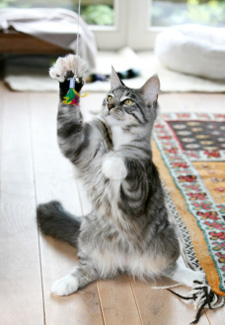 Cat Playing With Toy