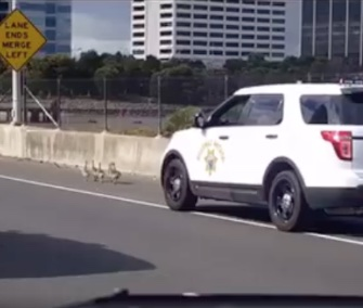 Three California Highway Patrol vehicles followed a flock of goslings in a low-speed chase on a freeway.